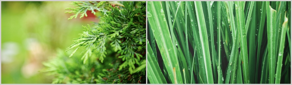 Cypress and vetiver montage 2